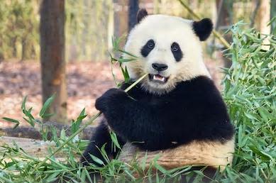 Bamboe CO2 opname 5x groter